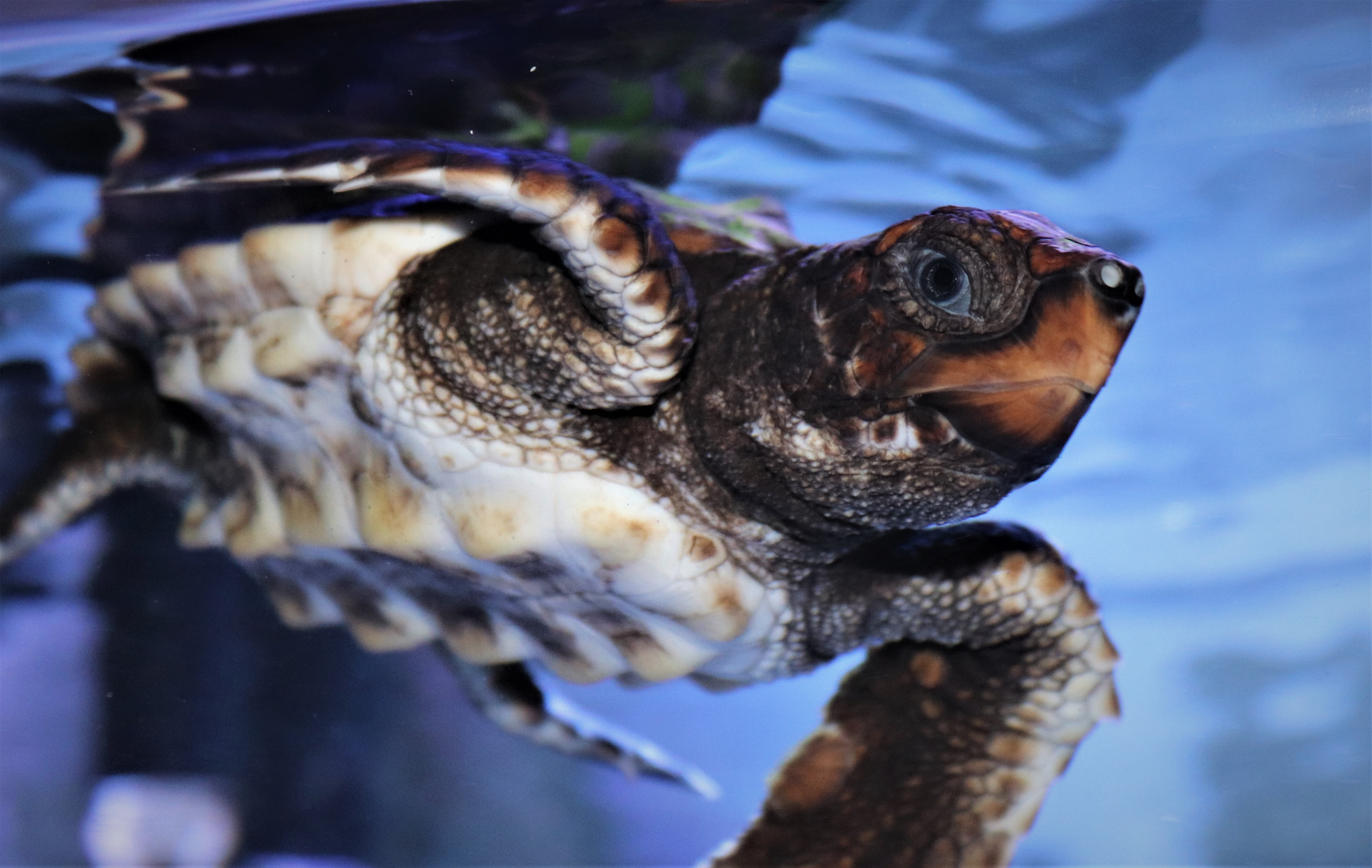 Loggerhead sea turtle swimming